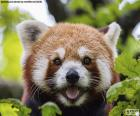 Cara o panda-vermelho