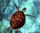Tartaruga-de-água cor-de-céu
