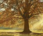 Árvore decídua no outono