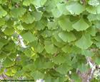 Folhas de Ginkgo biloba