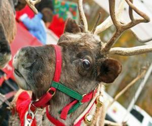 Puzle Rena de Natal com uma coleira com cascavels