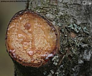 Puzle Resina de um pinheiro