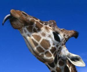 Puzle Retrato de la  cabeça de uma girafa linda