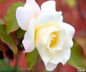 Puzle Rosa branca