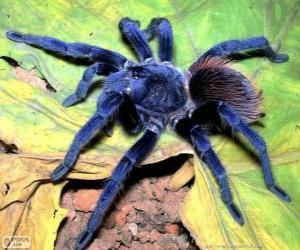 Puzle Sazima Tarantula