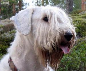 Puzle Sealyham terrier