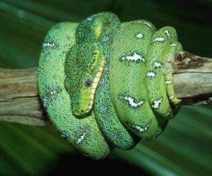 Puzle Serpente enrolada em um ramo