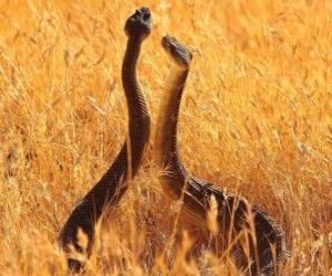 Puzle Serpentes no campo