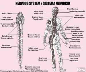 Puzle Sistema nervoso