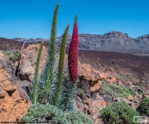 Puzle Tajinaste vermelho, Tenerife