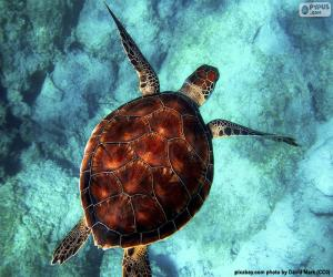 Puzle Tartaruga-de-água cor-de-céu