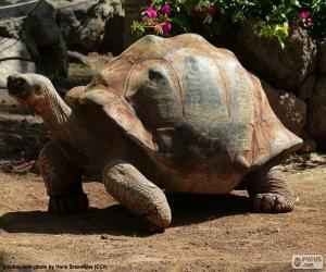 Puzle Tartaruga de esporas africana