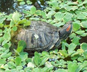 Puzle Tartaruga-do-ouvido-vermelho