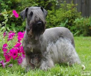 Puzle Terrier checo