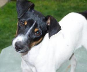 Puzle Terrier chileno, é a primeira chilena raça de cão