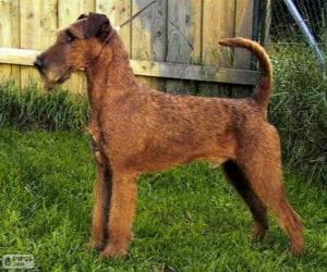 Puzle Terrier irlandês