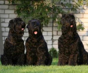 Puzle Terrier preto da Rússia é uma raça canina oriunda da Rússia