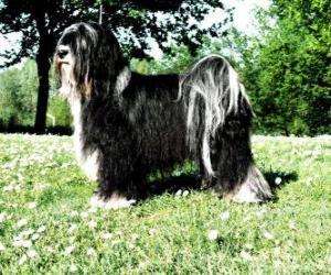 Puzle Terrier tibetano é uma raça canina oriunda da região do Tibete