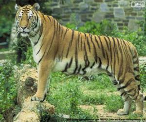 Puzle Tigre adulto