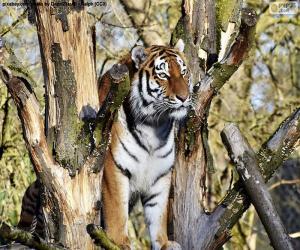 Puzle Tigre, controlando seu território