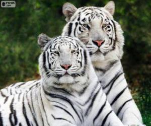 Puzle Tigres de bengala branca