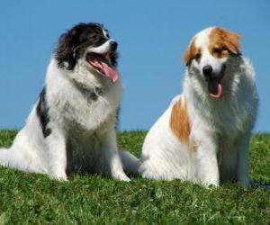 Puzle Tornjak é uma raça nativa da montanha cão pastor à Bósnia-Herzegovina e Croácia
