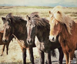 Puzle Três cavalos islandeses