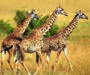 Puzle Três girafas