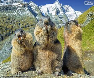 Puzle Três marmotas alpinas