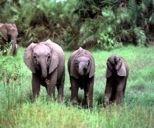 Puzle três elefantes pequenos