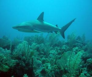 Puzle Tubarão no fundo do mar