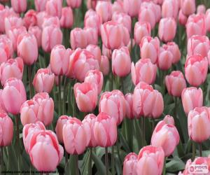 Puzle Tulipas cor de rosa