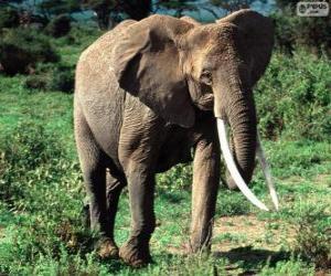 Puzle Um elefante com presas