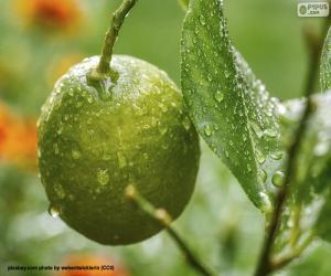 Puzle Um limão verde
