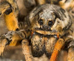 Puzle Uma tarântula ou caranguejeira, uma grande aranha, com pernas longas cheias de pelos