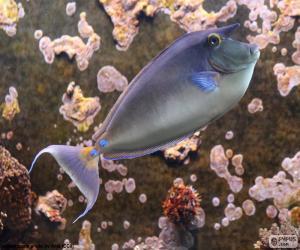 Puzle Unicórnio de espigão azul