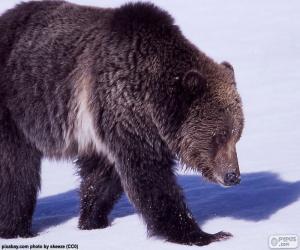 Puzle Urso-cinzento