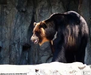Puzle Urso-negro-asiático