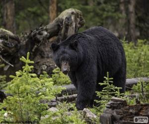 Puzle Urso-negro