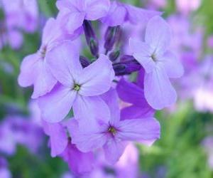 Puzle Violetas ou violas, uma planta ornamental com flor utilizada em jardins