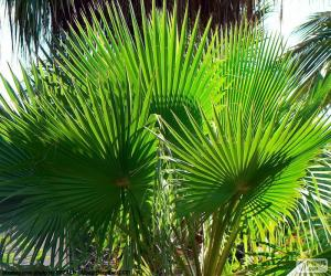 Puzle Washingtonia folhas