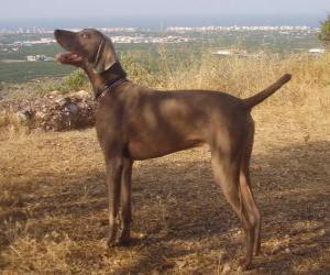 Puzle Weimaraner é uma raça canina oriunda da Alemanha