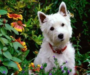 Puzle West Highland White Terrier é uma raça de cães oriunda da Escócia